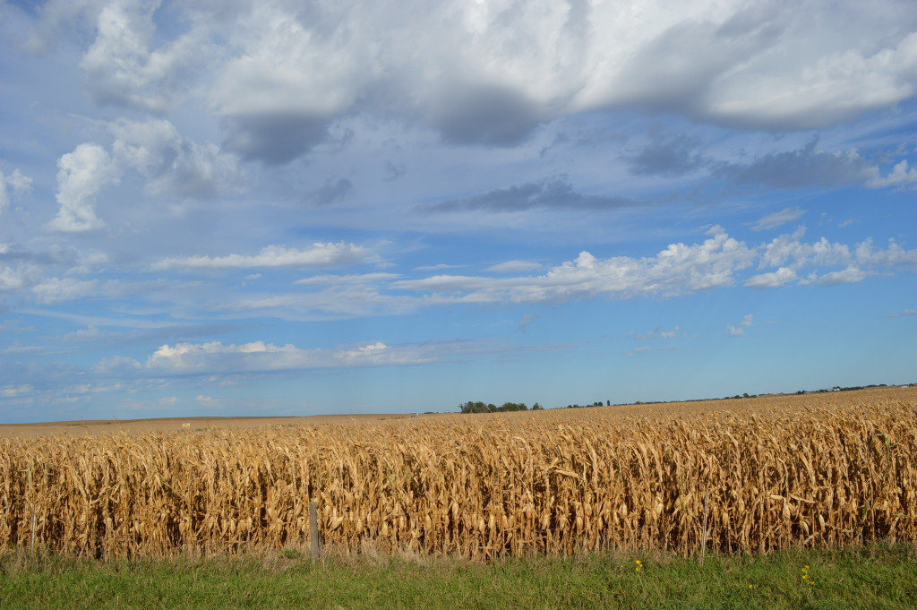 Iowa could shift to crops other than corn under climate projections in a new study. (photo/Cindy Hadish)