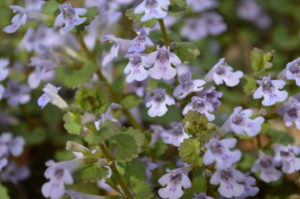 Creeping Charlie is another early bloomer that is beneficial to bees. (photo/Cindy Hadish)