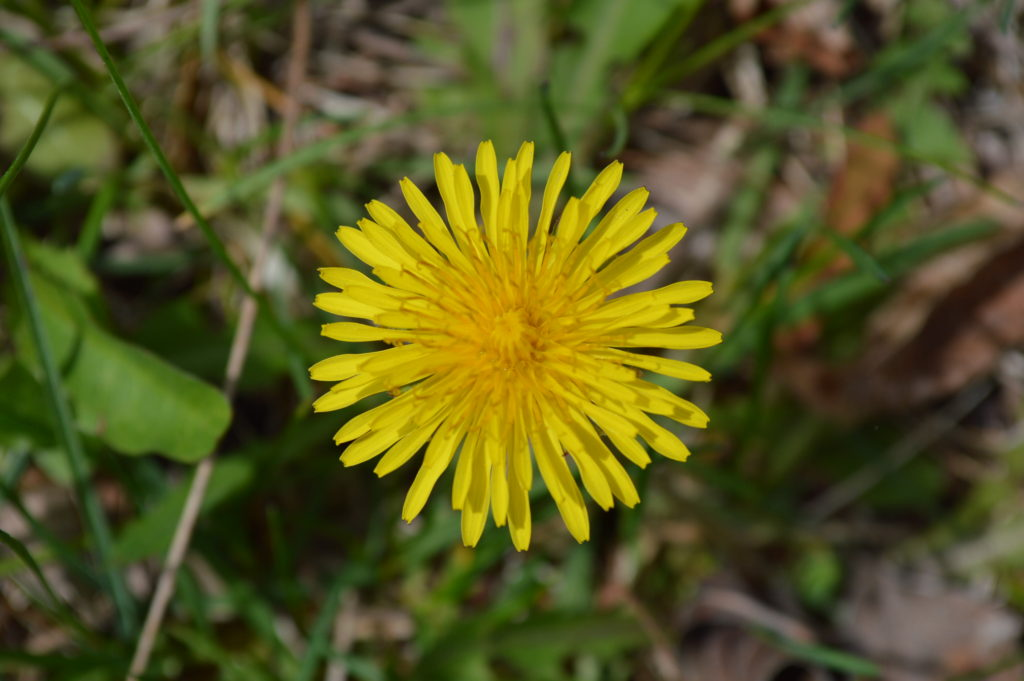 Dandelions serve as an early food source for bees when they emerge in the spring. (photo/Cindy Hadish)