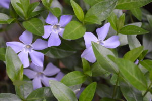 The groundcover, vinca, will be among plants for sale at the Plants For Mom sale in Cedar Rapids. (photo/Cindy Hadish)