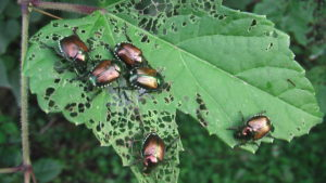 Japanese beetle watch begins