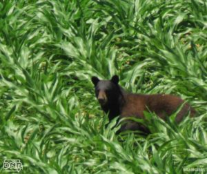 This photo, taken by Brian Gibbs, showed a black bear in a cornfield this month near Harpers Ferry, Iowa. (photo/KWQC)