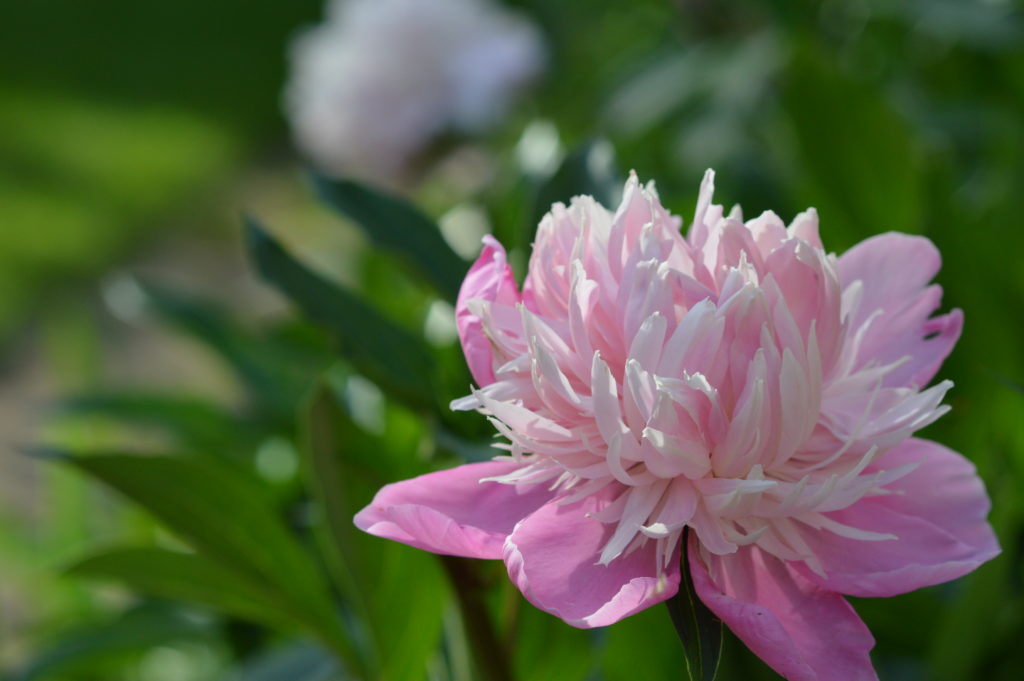 A peony blooms at the garden of Wanda Lunn in May 2016 in Cedar Rapids, Iowa. Lunn is opening her gardens to the public later this month. (photo/Cindy Hadish)