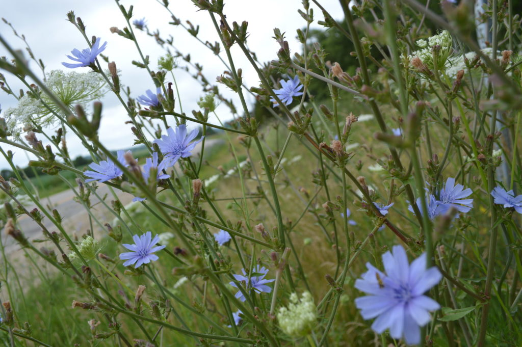 Chicory often can be seen blooming alongside other wildflowers, such as Queen Anne's lace. (photo/Cindy Hadish)
