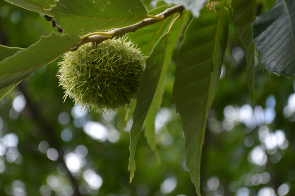 A Chinese Chestnut is among the trees growing on the Brucemore estate in Cedar Rapids. (photo/Cindy Hadish)