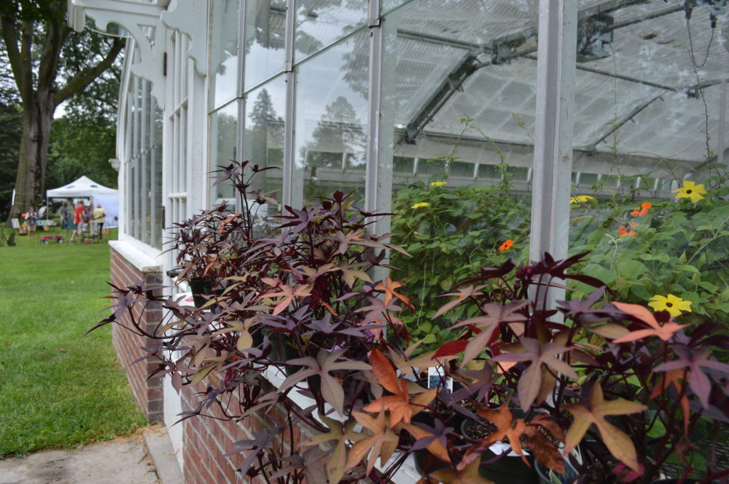 Sweet potato vine grows outside the Brucemore greenhouse, one of the sites open during the Brucemore Garden & Art. Show. (photo/Cindy Hadish)