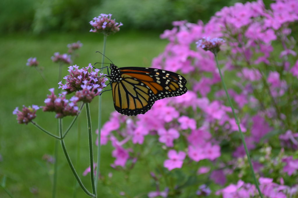 A monarch butterfly alights on a verbena bonariensis flower in the formal gardens during the Brucemore Garden & Art Show. (photo/Cindy Hadish)