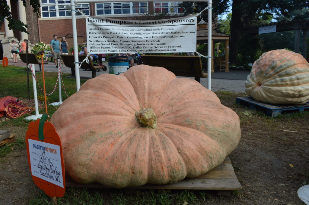 Giant pumpkins are displayed outside the Agriculture Building at the Iowa State Fair on Aug. 18, 2016. (photo/Cindy Hadish)
