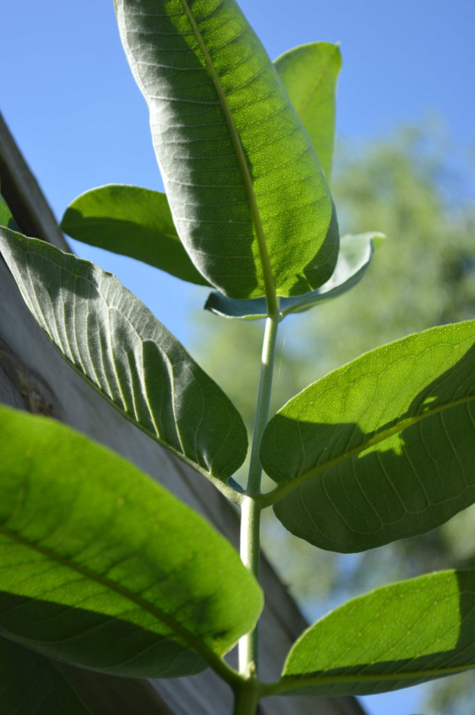 A tall milkweed plant reaches for the sun in a backyard in Cedar Rapids, Iowa, in August 2016. Milkweed serves as the sole host plant for monarch caterpillars. (photo/Cindy Hadish)