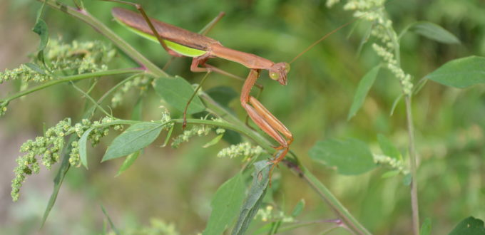 Praying mantises may appear intimidating, but are actually beneficial insects. (photo/Cindy Hadish)