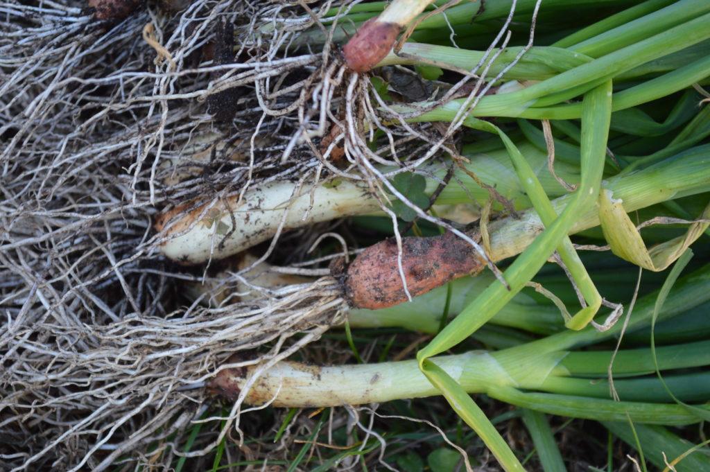 moundview-onions