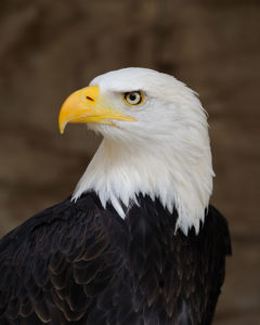 Iowan pleads guilty to possessing protected species; officials search for eagle killer