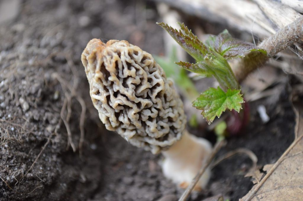 Do warm temperatures signal an early morel mushroom season?