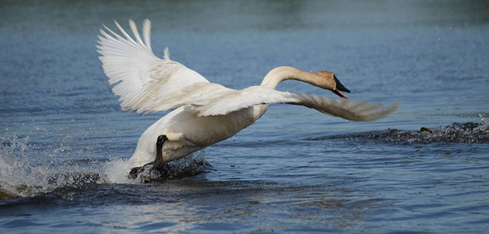 Back from brink of extinction: Trumpeter swans make recovery in Iowa